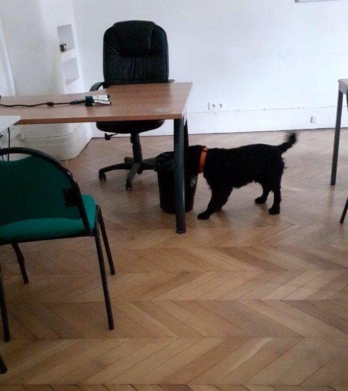 Rappel chien détecteur de punaises de lit dans un bureau
