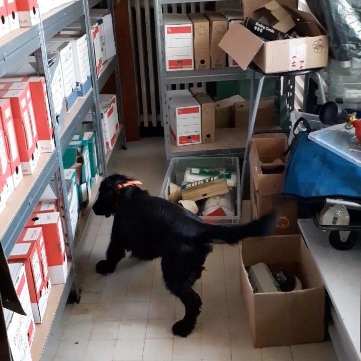Rappeur chien détecteur recherche des punaises de lits dans un local à archives