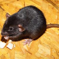 Rat noir mange du fromage